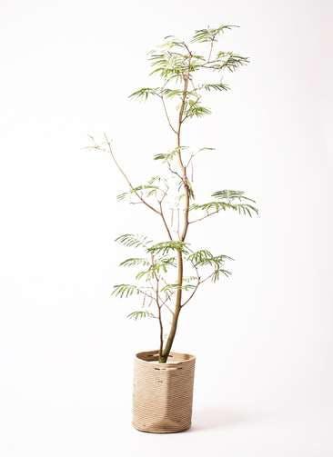 観葉植物 エバーフレッシュ 10号 ボサ造り リブバスケットNatural 付き