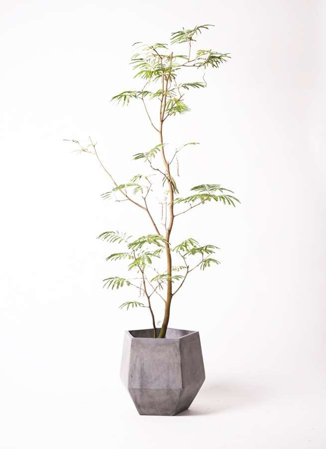 観葉植物 エバーフレッシュ 10号 ボサ造り ファイバークレイGray 付き