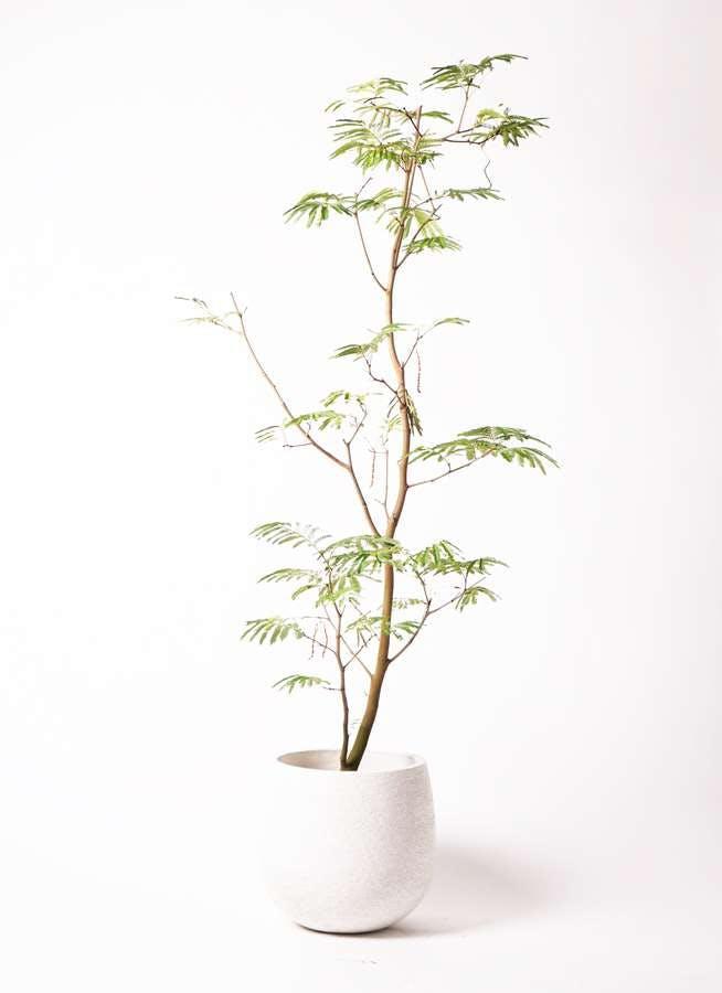 観葉植物 エバーフレッシュ 10号 ボサ造り エコストーンwhite 付き