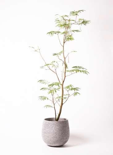 観葉植物 エバーフレッシュ 10号 ボサ造り エコストーンGray 付き