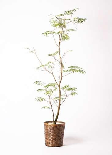 観葉植物 エバーフレッシュ 10号 ボサ造り 竹バスケット 付き