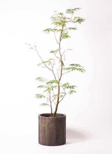観葉植物 エバーフレッシュ 10号 ボサ造り アルファシリンダープランター 付き