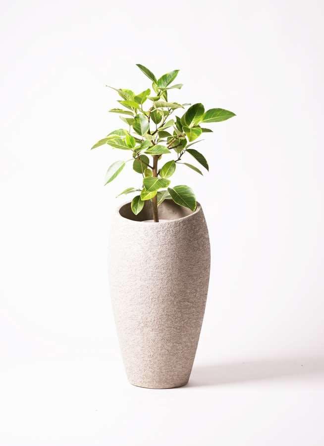 観葉植物 フィカス アルテシーマ 7号 ストレート エコストーントールタイプ Light Gray 付き