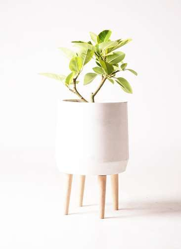 観葉植物 フィカス アルテシーマ 6号 ストレート ファイバークレイwhite 付き