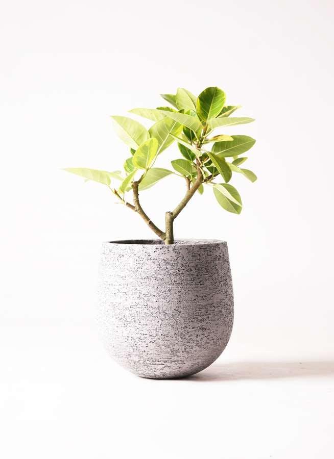 観葉植物 フィカス アルテシーマ 6号 ストレート エコストーンGray 付き