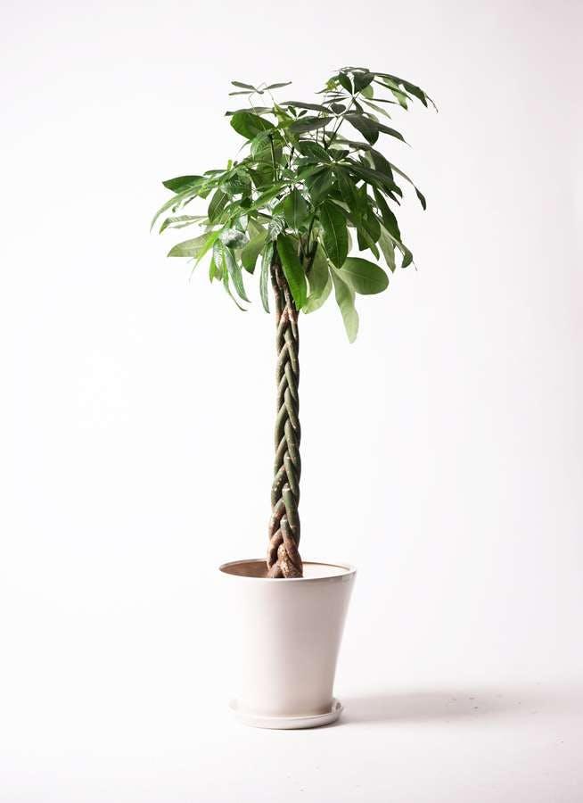 観葉植物 パキラ 10号 ねじり サブリナ 白 付き