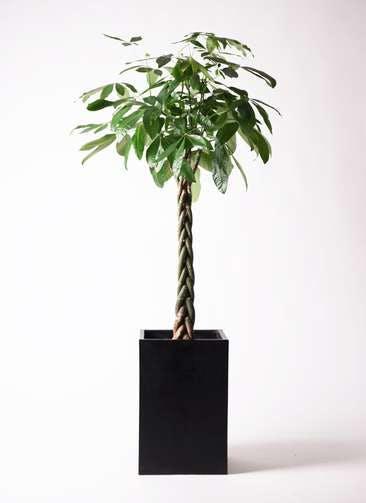 観葉植物 パキラ 10号 ねじり セドナロング 墨 付き