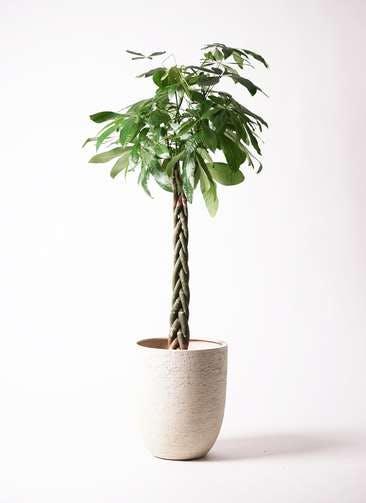 観葉植物 パキラ 10号 ねじり ビアスアルトエッグ 白 付き