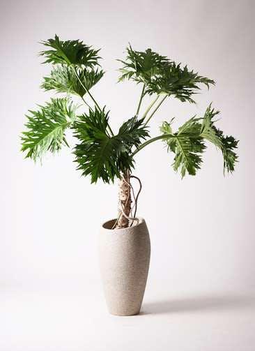 観葉植物 セローム ヒトデカズラ 8号 根あがり エコストーントールタイプ Light Gray 付き