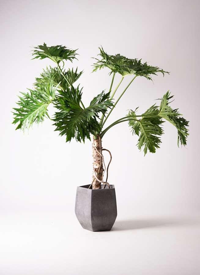 観葉植物 セローム ヒトデカズラ 8号 根あがり ファイバークレイ Gray 付き