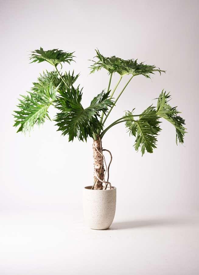 観葉植物 セローム ヒトデカズラ 8号 根あがり ビアスアルトエッグ 白 付き