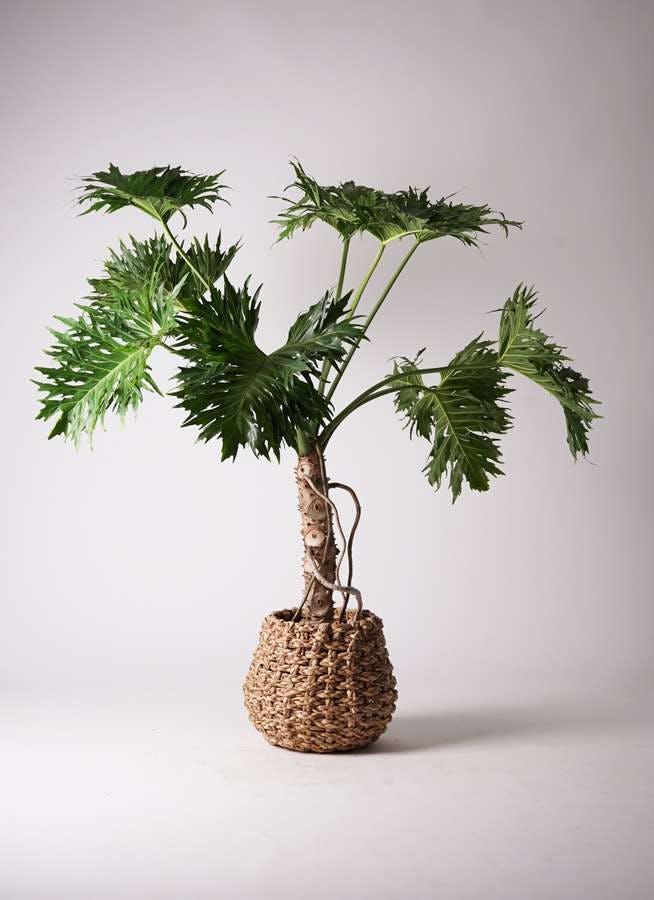 観葉植物 セローム ヒトデカズラ 8号 根あがり ラッシュバスケット Natural 付き