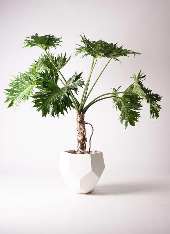 観葉植物 セローム ヒトデカズラ 8号 根あがり ポリゴヘクサ 白 付き