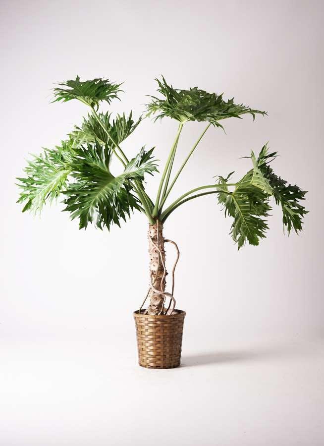 観葉植物 セローム ヒトデカズラ 8号 根あがり 竹バスケット 付き