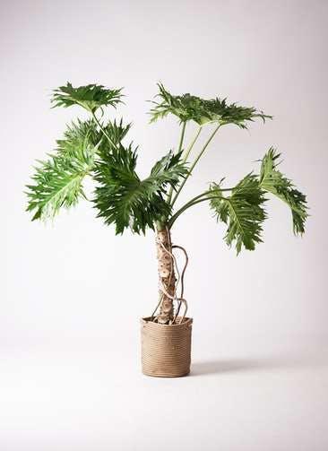 観葉植物 セローム ヒトデカズラ 8号 根あがり リブバスケットNatural 付き