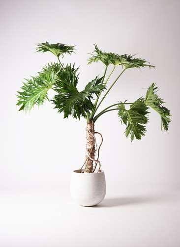 観葉植物 セローム ヒトデカズラ 8号 根あがり エコストーンwhite 付き