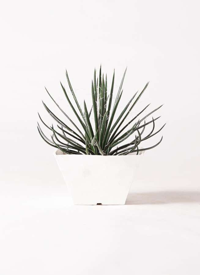 観葉植物 アガベ 6号 ジェミニフローラ 白角鉢