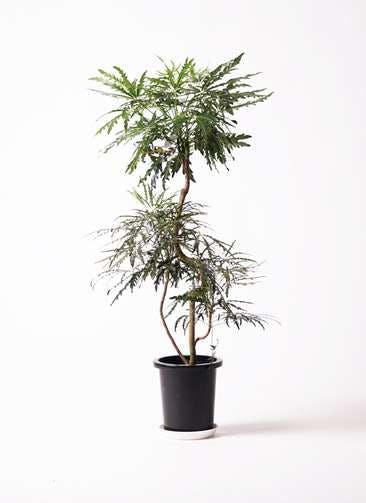 観葉植物 グリーンアラレア 8号 曲り プラスチック鉢