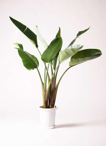 観葉植物 オーガスタ 8号 プラスチック鉢
