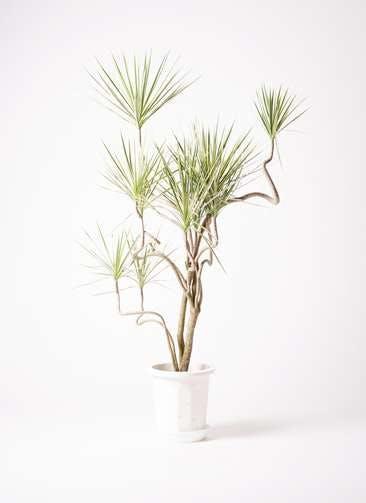 観葉植物 コンシンネ ホワイポリー 10号 曲り プラスチック鉢