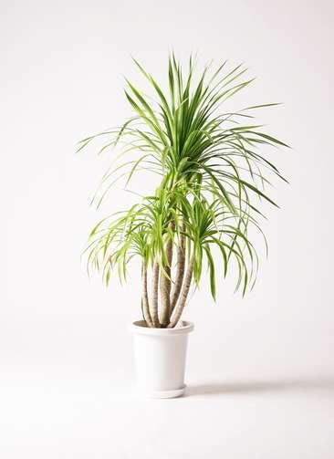 観葉植物 ドラセナ カンボジアーナ 8号 プラスチック鉢