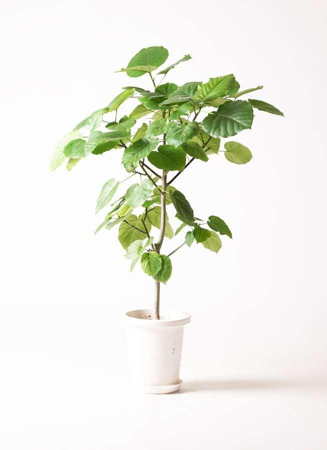 観葉植物 フィカス ウンベラータ 8号 ノーマル プラスチック鉢