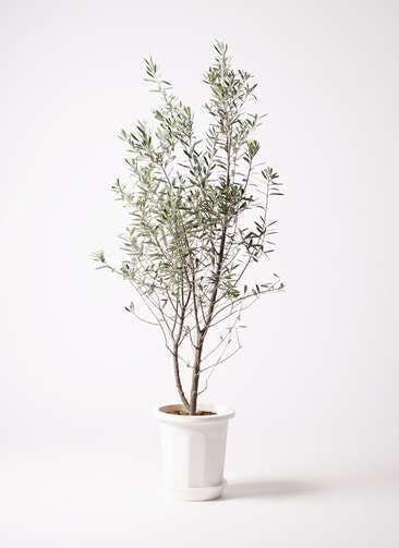 観葉植物 オリーブの木 10号 チプレッシーノ プラスチック鉢