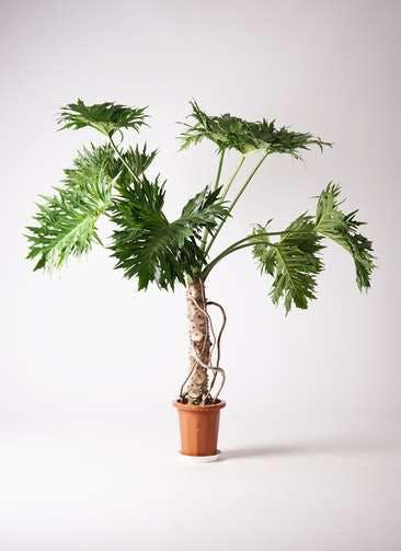 観葉植物 セローム ヒトデカズラ 8号 根あがり プラスチック鉢