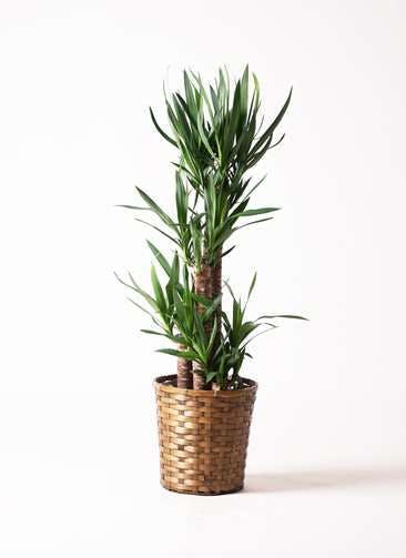 観葉植物 ユッカ 8号 ノーマル 竹バスケット 付き