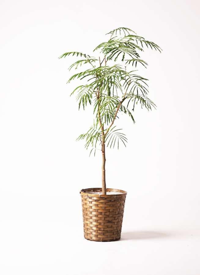 観葉植物 エバーフレッシュ 8号 ボサ造り 竹バスケット 付き