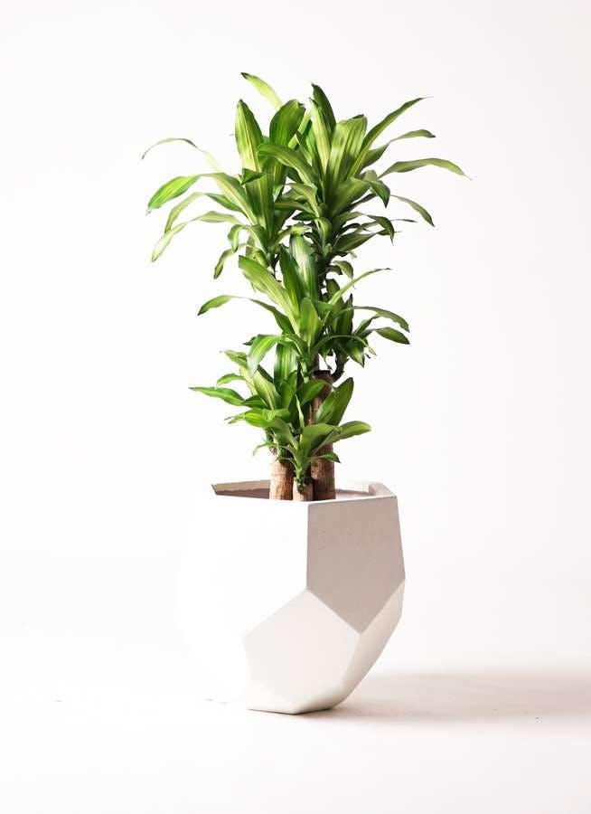 観葉植物 ドラセナ 幸福の木 8号 ノーマル ポリゴヘクサ 白 付き