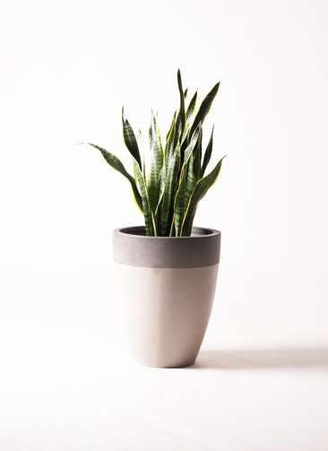 観葉植物 サンスベリア 8号 トラノオ ファイバーストーンカプリ サンディホワイト 付き