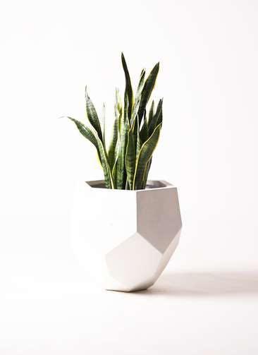 観葉植物 サンスベリア 8号 トラノオ ポリゴヘクサ 白 付き