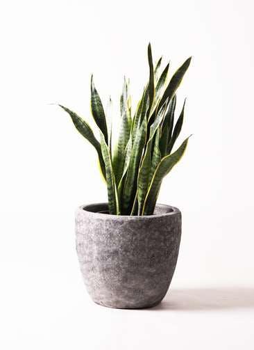 観葉植物 サンスベリア 8号 トラノオ アビスソニア ミドル 灰 付き