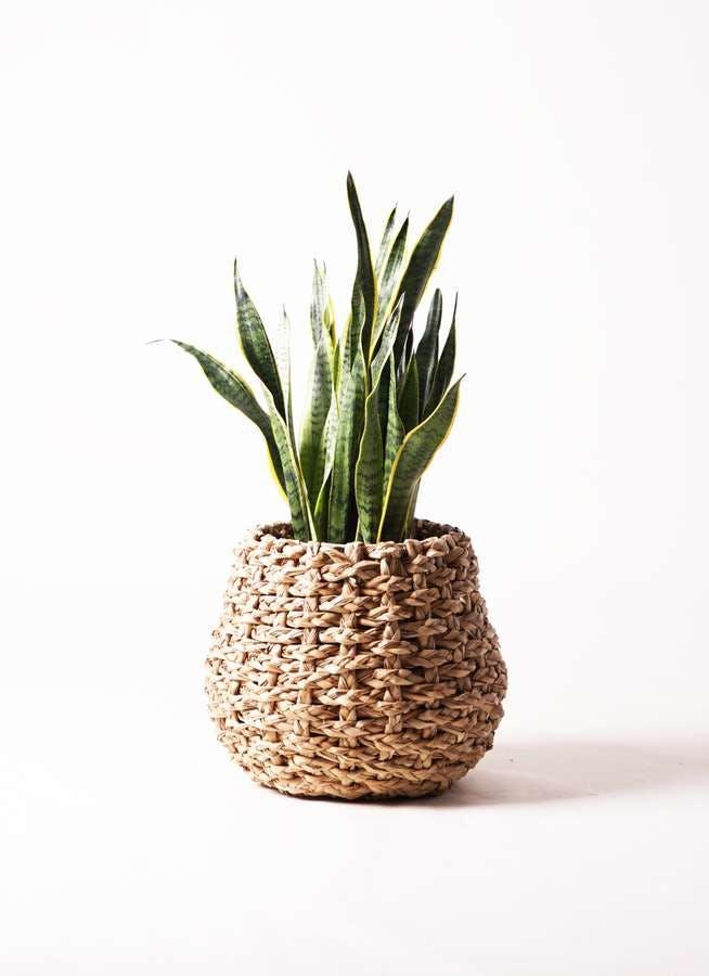 観葉植物 サンスベリア 8号 トラノオ ラッシュバスケット Natural 付き
