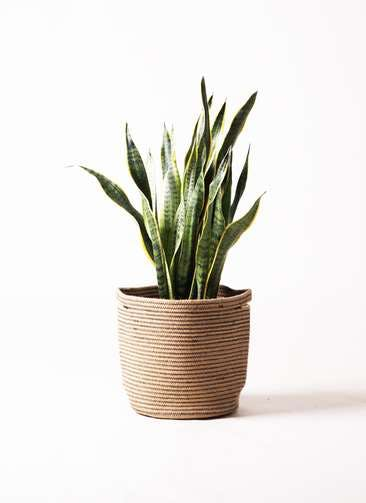 観葉植物 サンスベリア 8号 トラノオ リブバスケットNatural 付き