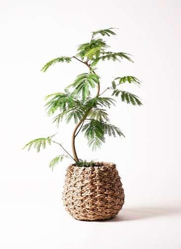 観葉植物 エバーフレッシュ 8号 曲り ラッシュバスケット Natural 付き