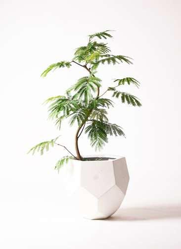 観葉植物 エバーフレッシュ 8号 曲り ポリゴヘクサ 白 付き