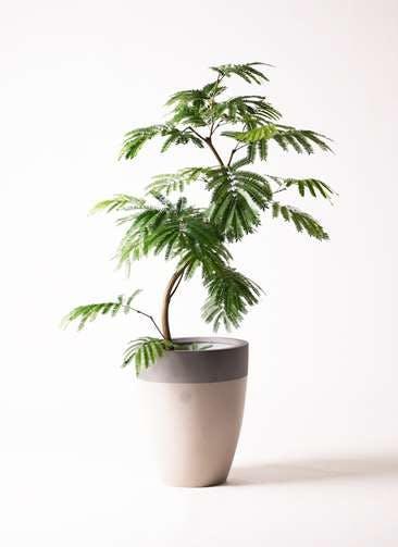 観葉植物 エバーフレッシュ 8号 曲り ファイバーストーンカプリ サンディホワイト 付き