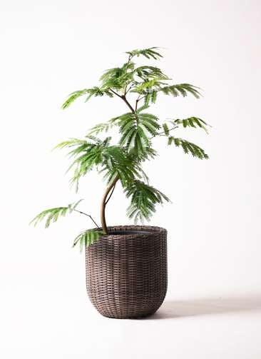 観葉植物 エバーフレッシュ 8号 曲り ウィッカーポットエッグ 茶 付き