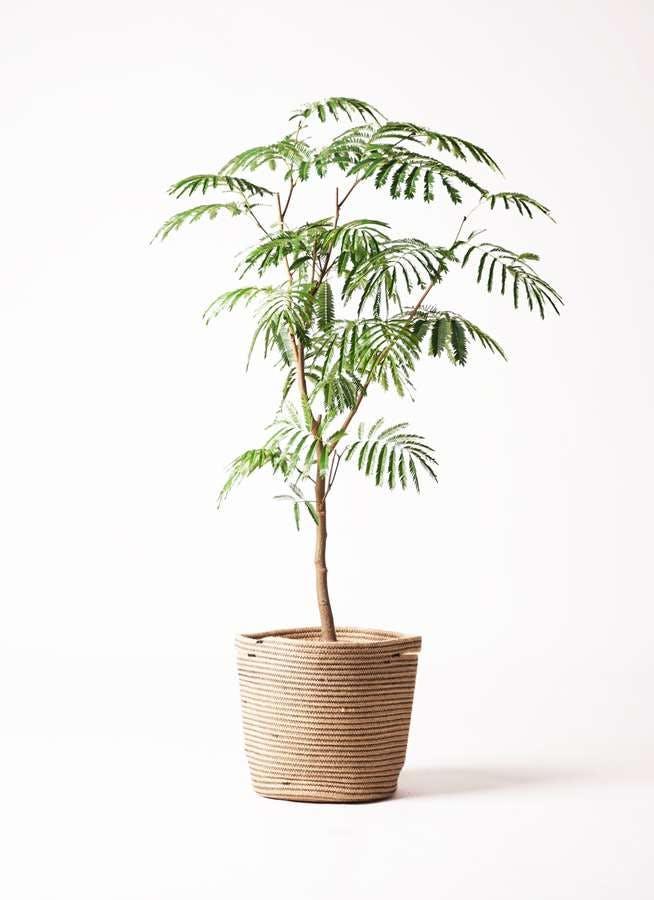 観葉植物 エバーフレッシュ 8号 ボサ造り リブバスケットNatural 付き