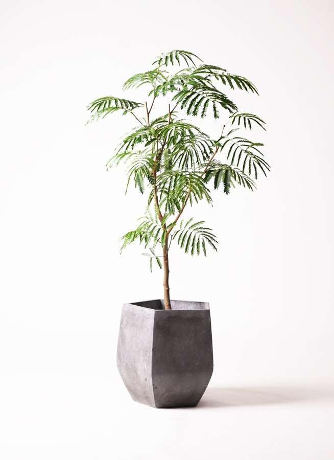 観葉植物 エバーフレッシュ 8号 ボサ造り ファイバークレイ Gray 付き