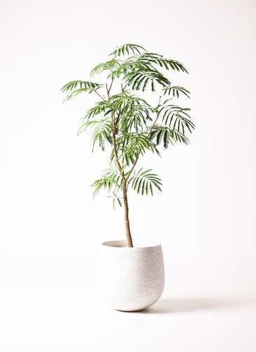 観葉植物 エバーフレッシュ 8号 ボサ造り エコストーンwhite 付き