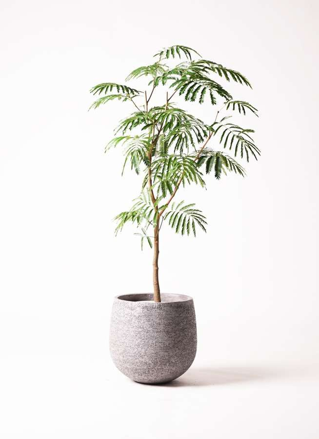 観葉植物 エバーフレッシュ 8号 ボサ造り エコストーンGray 付き