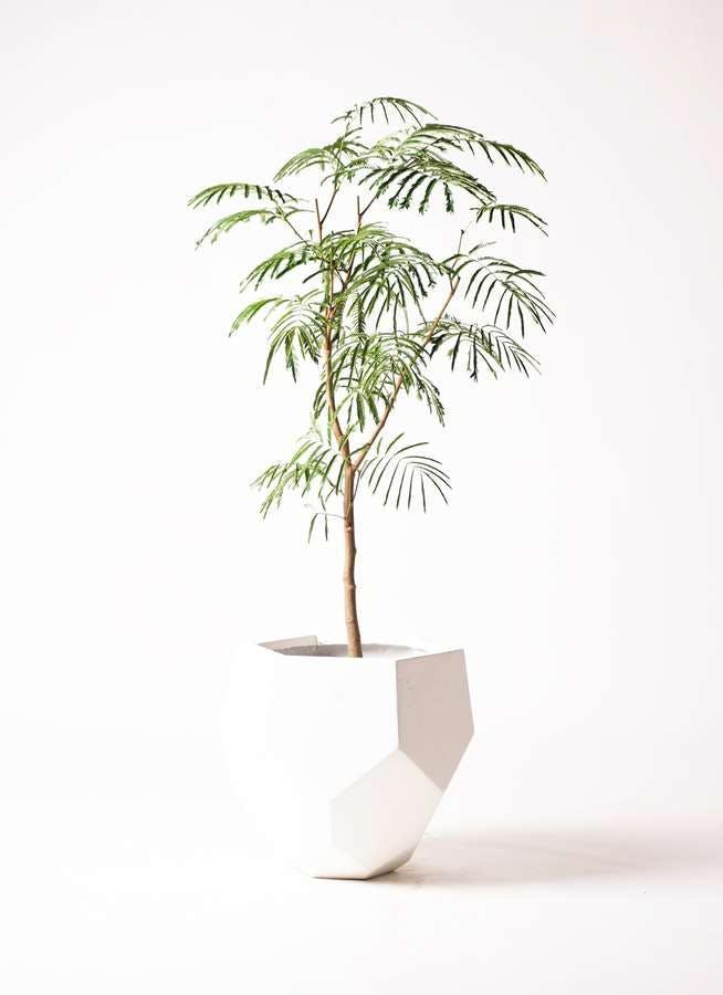 観葉植物 エバーフレッシュ 8号 ボサ造り ポリゴヘクサ 白 付き