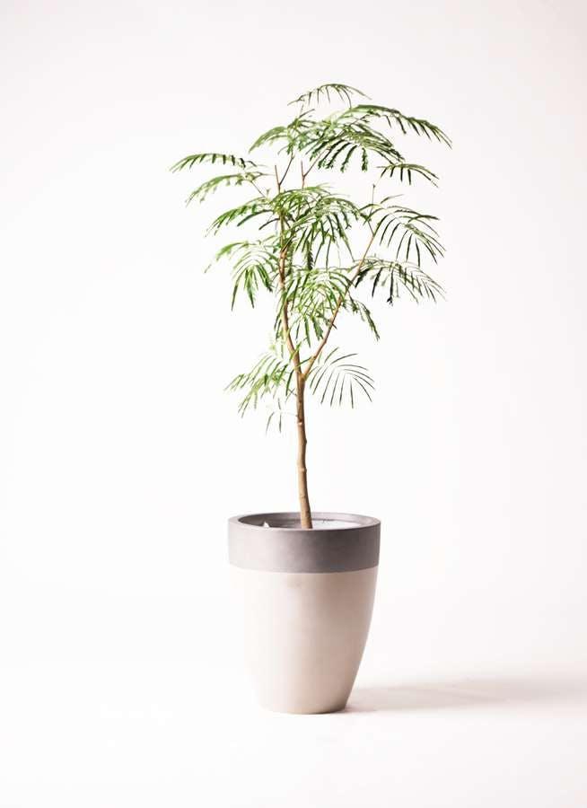 観葉植物 エバーフレッシュ 8号 ボサ造り ファイバーストーンカプリ サンディホワイト 付き
