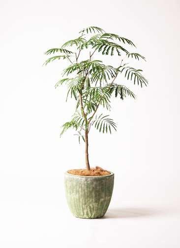 観葉植物 エバーフレッシュ 8号 ボサ造り アビスソニア ミドル 緑 付き