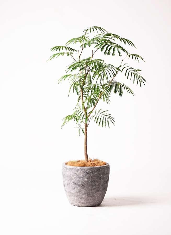 観葉植物 エバーフレッシュ 8号 ボサ造り アビスソニア ミドル 灰 付き