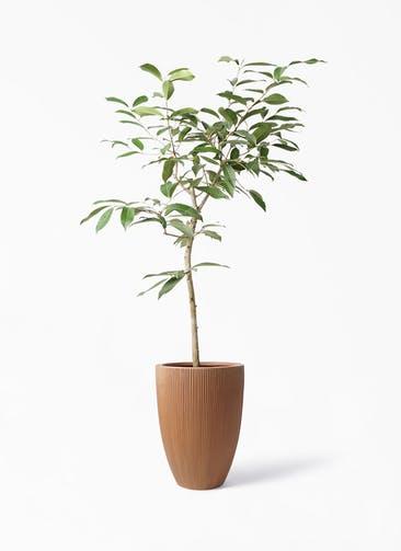 観葉植物 アマゾンオリーブ (ムラサキフトモモ) 8号 リブラ モノ ラスティ 付き