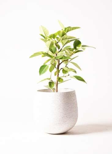観葉植物 フィカス アルテシーマ 7号 ストレート エコストーンwhite 付き